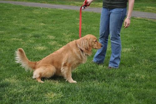 Köpeğe Çiş Eğitimi Nasıl Verilir 2