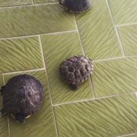 Kaplumbağ