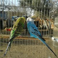 Maviş v Fıstık