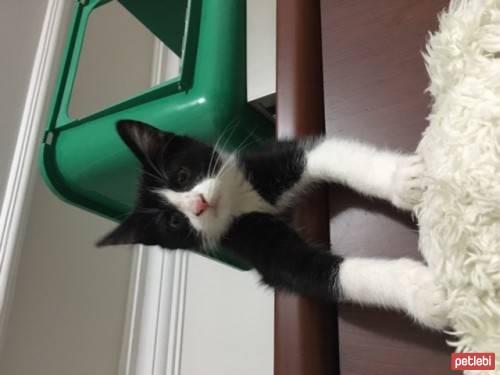 Bir kedinin cinsi nasıl belirlenir