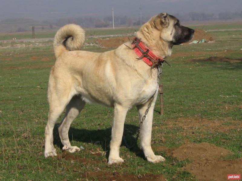 Kangal Cinsi Köpek Özellikleri ve Bakımı