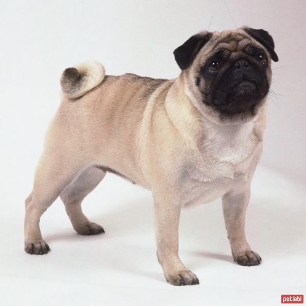 Köpeklerin cinsi Amerikan Bulldog: açıklama ve özellikleri, yavrular, fiyat, fotoğraf