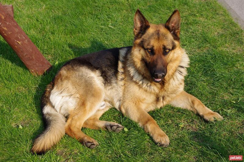 Alman çoban: köpek bakımı ve bakımı